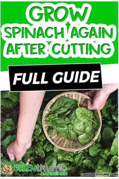 grow spinach