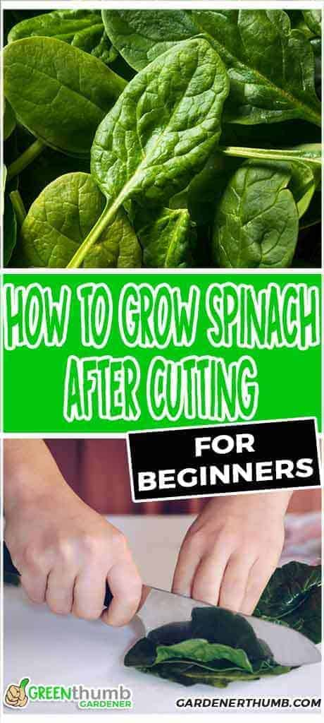 growing spinach after cutting
