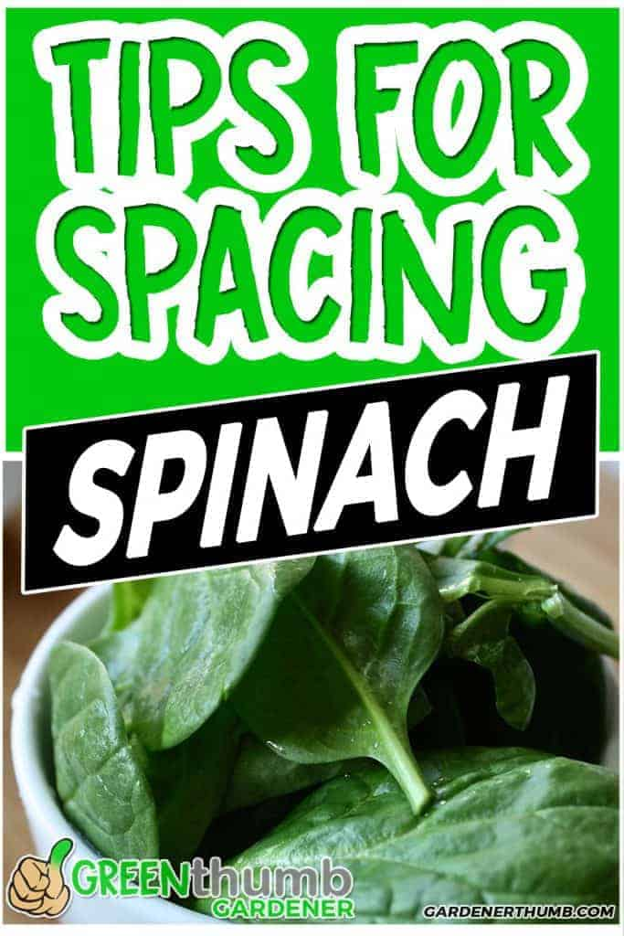 plant spinach spacing