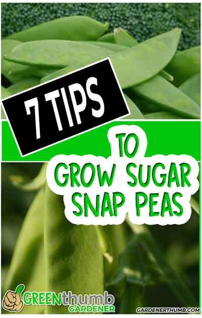 grow sugar snap pea pods