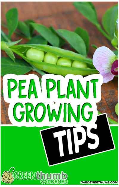 sugar snap pea growing tips