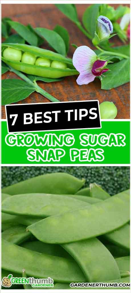 snap peas growing