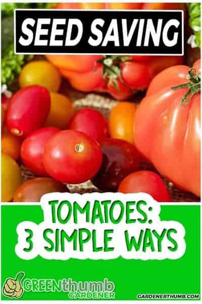 saving seeds of tomato