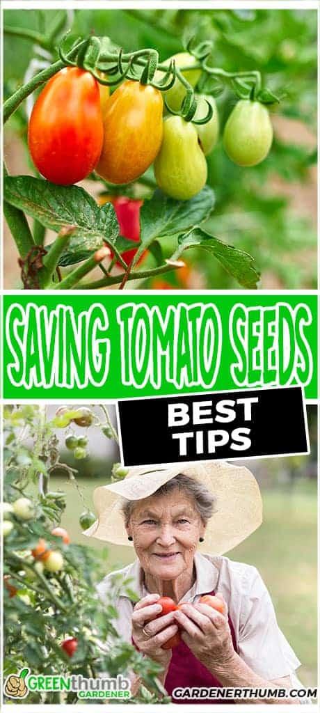 the dirt on saving tomato seeds