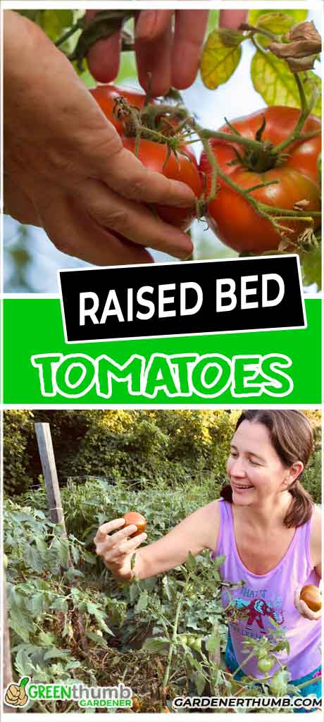 tomato plants in raised beds