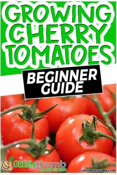 growing cherry tomato