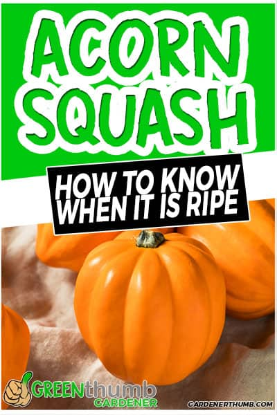 acorn squash how to know when it is ripe