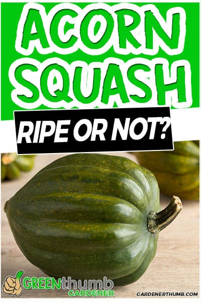 acorn squash ripe or not?