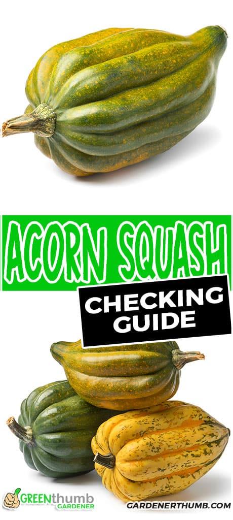 acorn squash checking guide