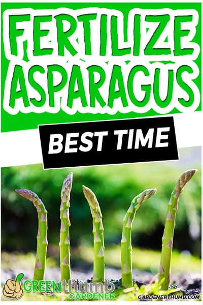 fertilize asparagus best time