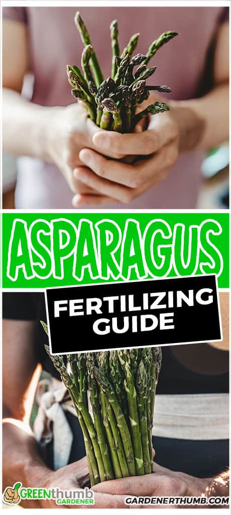 asparagus fertilizing guide