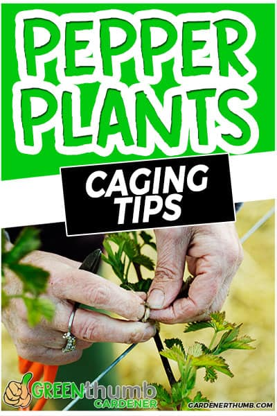 pepper plants caging tips