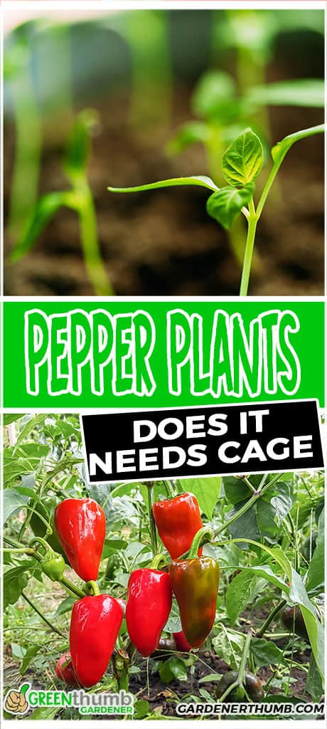pepper plants does it needs cage