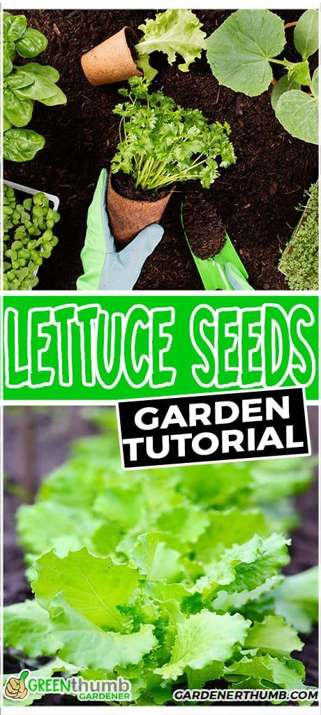 lettuce seeds garden tutorial