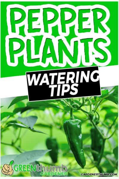 pepper plants watering tips