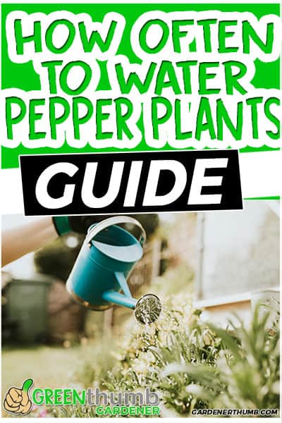 how often to water pepper plants guide