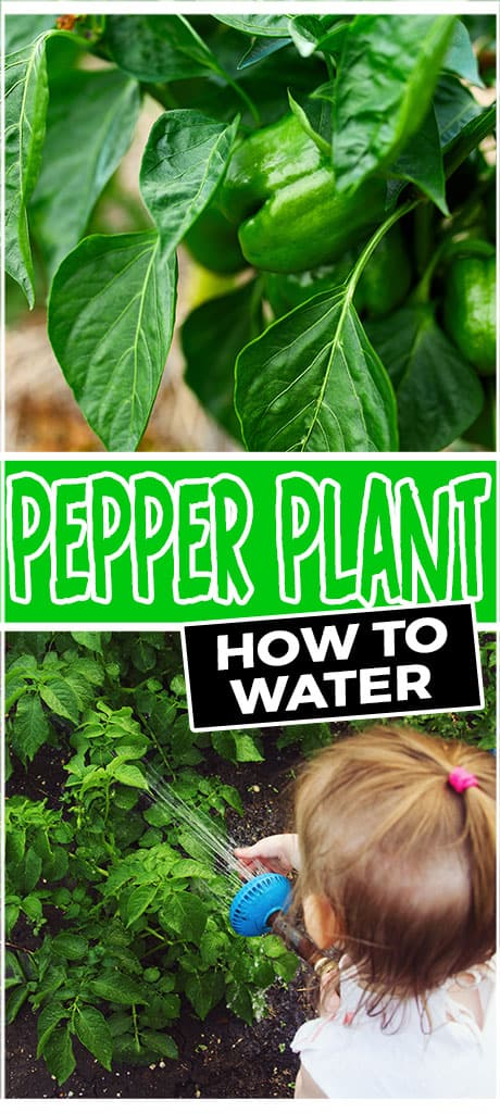 pepper plant how to water