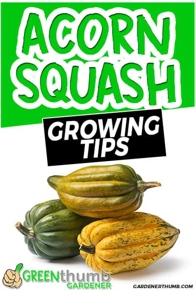 acorn squash growing tips