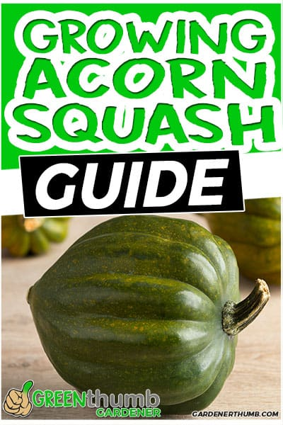 growing acorn squash uide