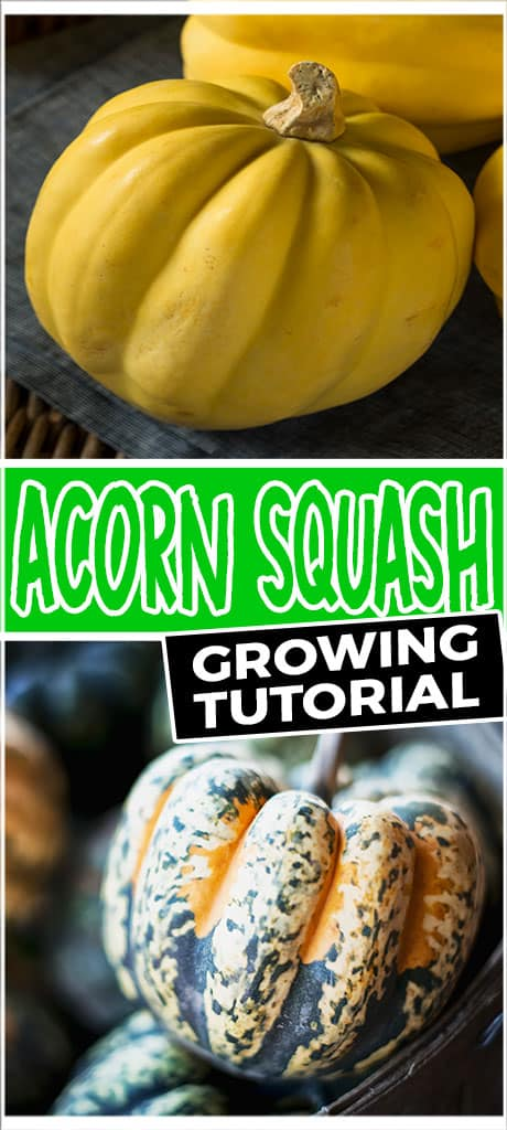 acorn squash growing tutorial
