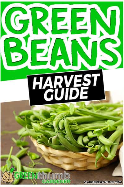 green beans harvest guide