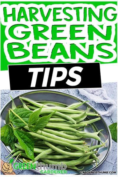 harvesting green beans tips