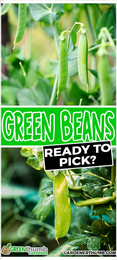 green beans ready to pick?