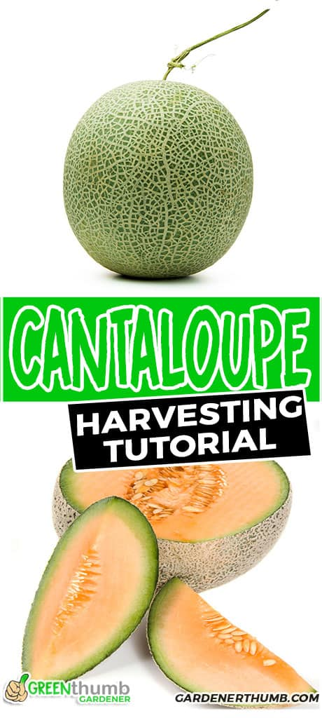 cantaloupe harvesting tutorial