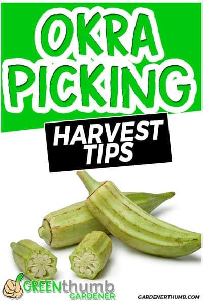okra picking harvest tips