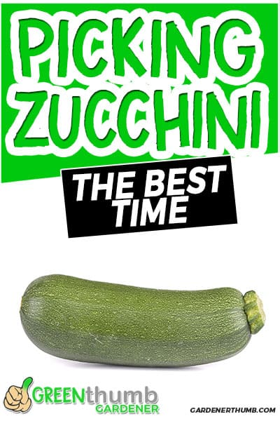 picking zucchini the best time
