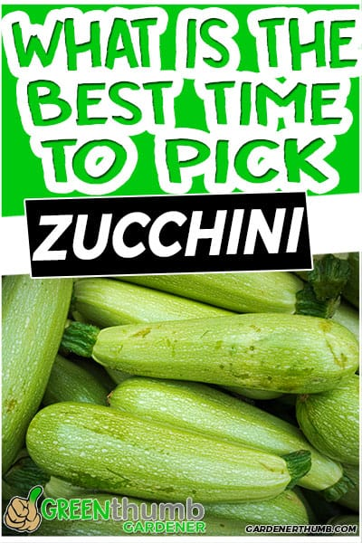 what is the best time to pick zucchini
