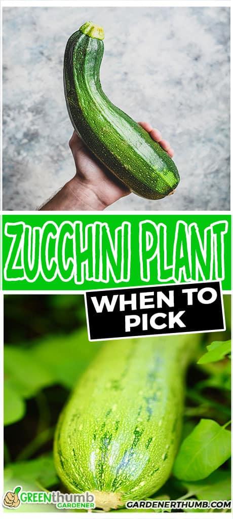zucchini plant when to pick