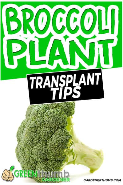 broccoli plant transplant tips