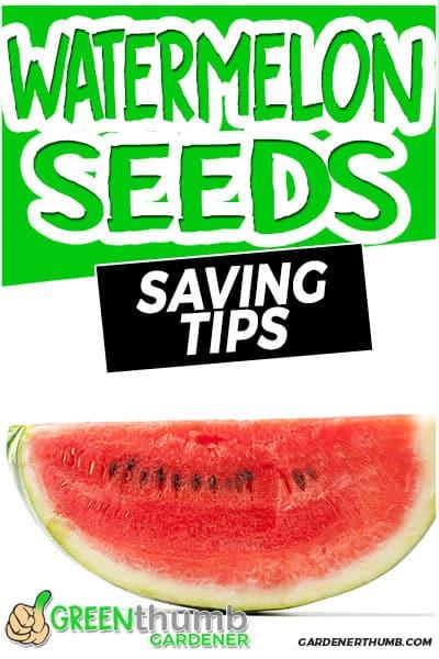 watermelon seeds saving tips