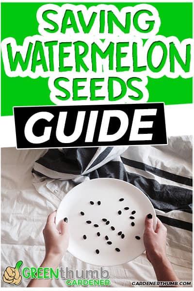 saving watermelon seeds guide