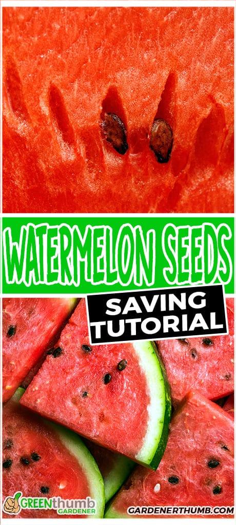watermelon seeds saving tutorial