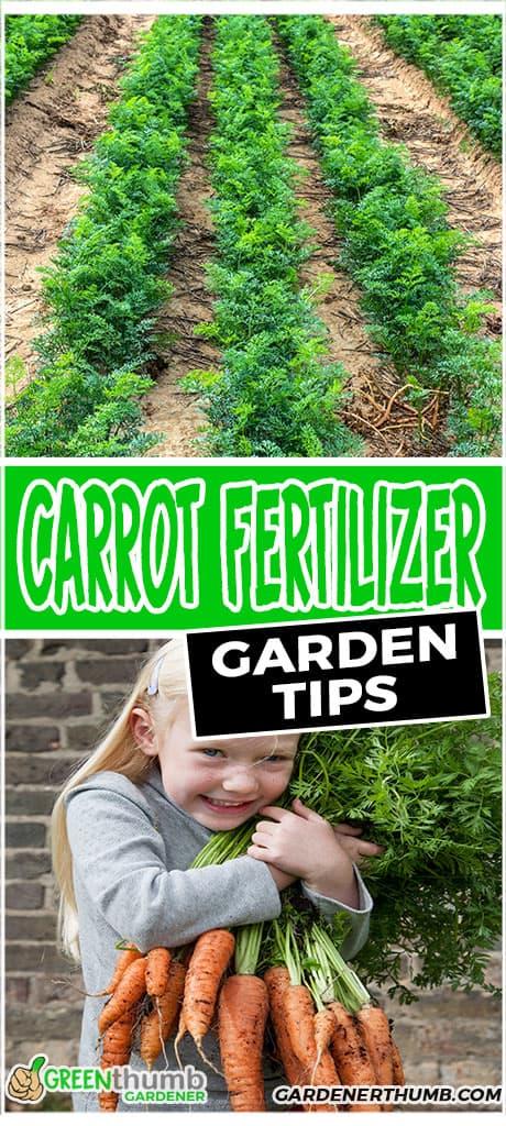 carrot fertilizer garden tips