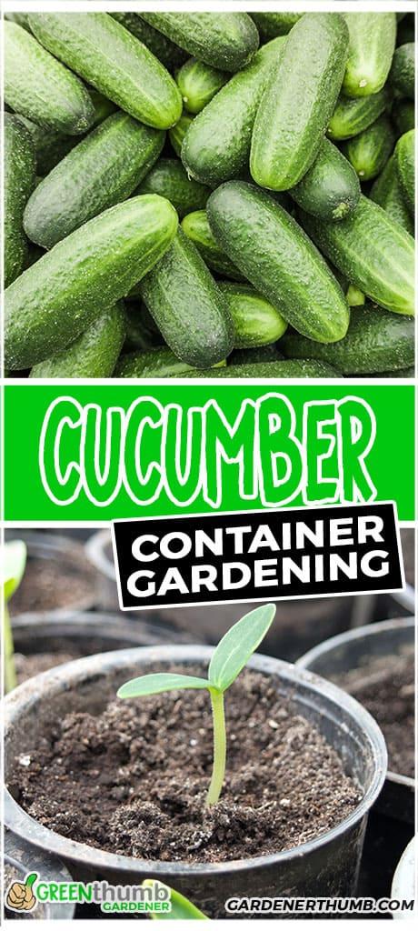 cucumber container gardening