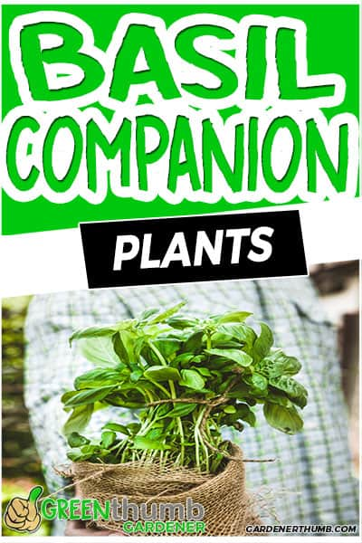 basil companion plants