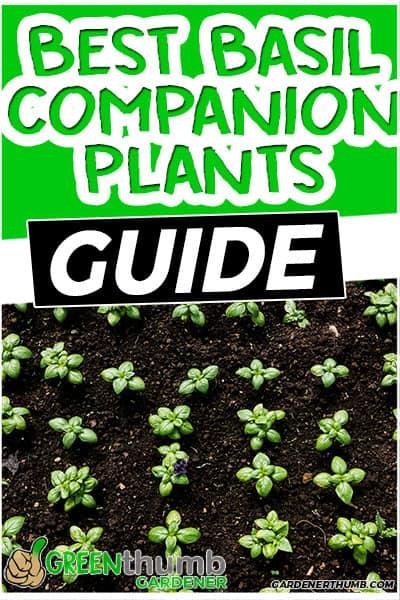 best basil companion plants guide