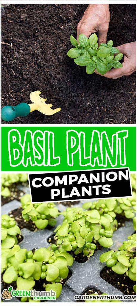 basil plant companion plants