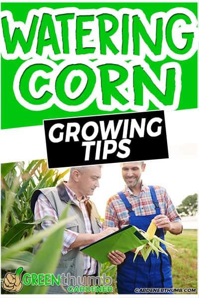 watering corn growing tips