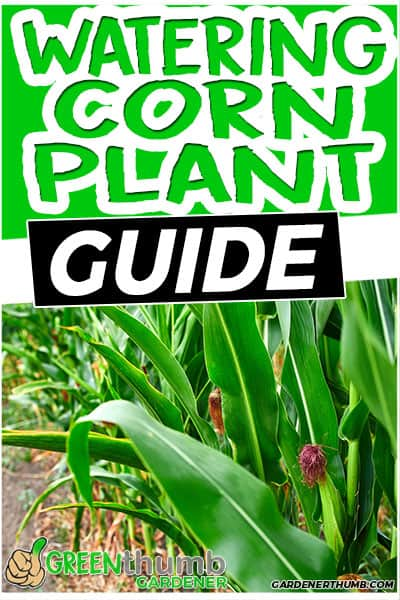 watering corn plant guide