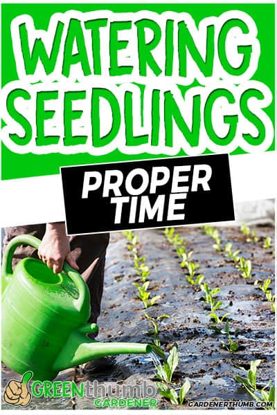 watering seedlings proper time