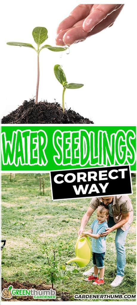 water seedlings correct way