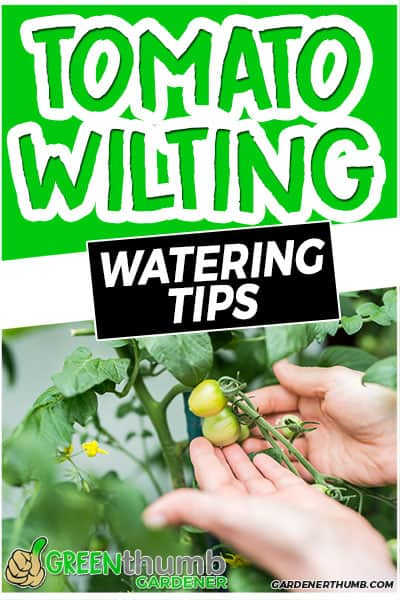 tomato wilting watering tips
