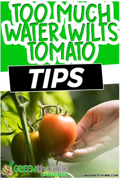 too much water wilts tomato tips