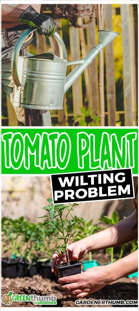 tomato plant wilting problem