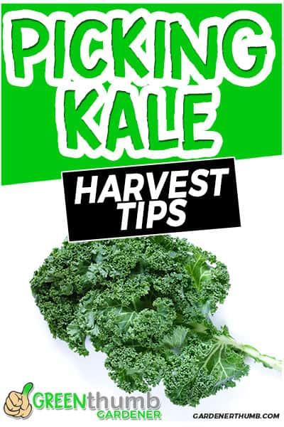 picking kale harvest tips