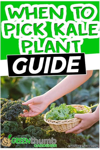 when to pick kale plant guide
